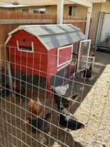 10 Laying Hens/Chickens & Coop in Yucca Valley, California