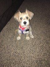 Yorkipoo born April 10th, 2017 in Fort Riley, Kansas