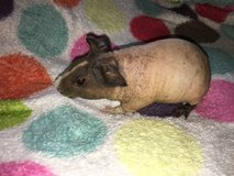 Skinny pig hairless guinea pig in Naperville, Illinois