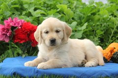 Awesome Golden Retriever puppies ready to go now. in Birmingham, Alabama