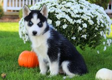 Beautiful purebred blue eyes Siberian Husky puppies. in Birmingham, Alabama