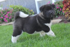 Soft and fluffy Akita puppies. in Birmingham, Alabama