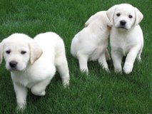 Outstanding male and female Labrador puppies seeking lovely homes in Birmingham, Alabama