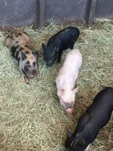 Potbelly Pigs in Perry, Georgia