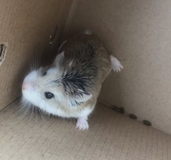 Hamster for sale! in Hinesville, Georgia