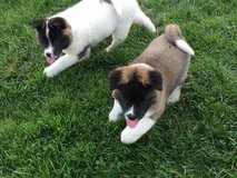 Americans Akita's puppies for adoption text (754)- 800- 1487 in Indianapolis, Indiana