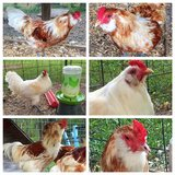 Easter Egger Roosters in Kingwood, Texas