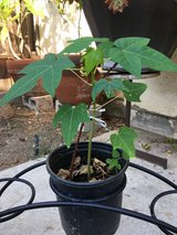 Hawaii papaya tree in Camp Pendleton, California