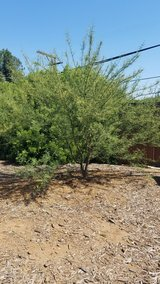 Palo Verde Tree in Camp Pendleton, California