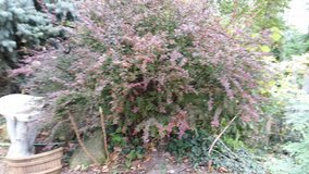 BARBARY BUSH RED in Westmont, Illinois