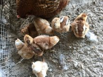 Bielefelder chicks in Leesville, Louisiana