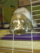 Holland lop rabbit with cage in Warner Robins, Georgia