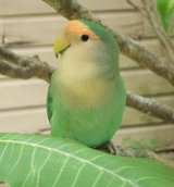 **PEACH FACE LOVE BIRDS TWO AVAILABLE** in Alamogordo, New Mexico