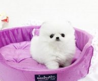 Male and Female  Tea Cup Pomeranian puppies  Text: 612-502-2563 in Phoenix, Arizona