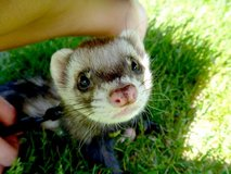 ferret in need of a new home as soon as possible. in Naperville, Illinois