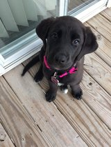 5 month old black lab puppy in Fort Riley, Kansas