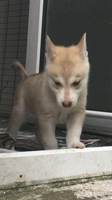 adorable husky ready for a new home in Virginia Beach, Virginia