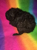 Guinea pig baby boy in Naperville, Illinois