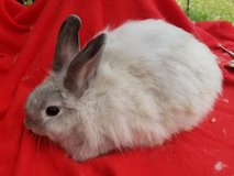 angora/ lion head rabbits in Tampa, Florida