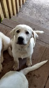 Livestock Guardian pups in Clarksville, Tennessee