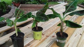 Banana plants in Fort Campbell, Kentucky