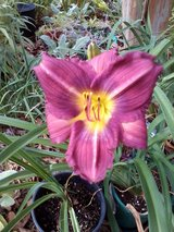 "Daylily ""Grab Bag"" in Warner Robins, Georgia"