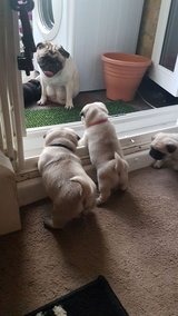 Lovely pug puppies for sale to pets loving homes in Los Angeles, California