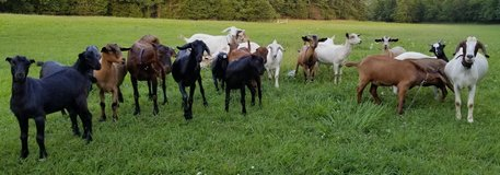 MANY Goats for sale - does, wethers, bucklings, mini mancha in Fort Leonard Wood, Missouri