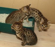 Savannah kittens for adoption 210-538-1875 in Naperville, Illinois