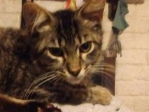 Free kitty kitten to a good home in Kingwood, Texas