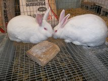 New Zealand RABBITS! in Alamogordo, New Mexico