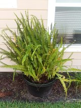 Fishtail Fern in Tyndall AFB, Florida