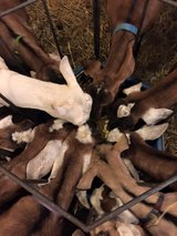 Excellent Dual purpose goats for sale in Warner Robins, Georgia