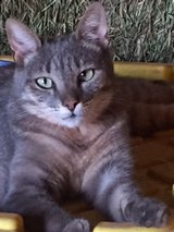 """Bitsy"" Grey Tiger Stripped Cat in Alamogordo, New Mexico"
