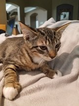 very soft and small 12 week kitten in Kingwood, Texas