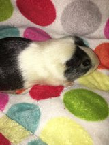 Guinea pig male in Naperville, Illinois