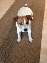 Neutered, house broke 5 year old Jackrussell name Toby in Beaufort, South Carolina