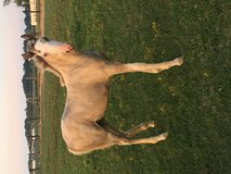 Registered Tennessee Walking Horse Philly in Clarksville, Tennessee