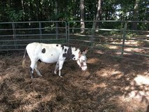 Miniature Donkey in Pleasant View, Tennessee