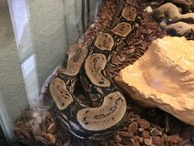 Arabesque pastel dream red tail boa male in Camp Pendleton, California