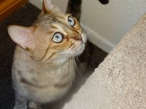 LOST Female BENGAL CAT 6 yrs old! TAKES MEDS!   REWARD!!! in 29 Palms, California