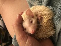 PNWH Has Baby Hedgehogs Ready Now in Fort Lewis, Washington