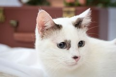 Sweet cat seeks a family in Okinawa, Japan