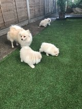 Pomeranian Puppies Available in West Orange, New Jersey