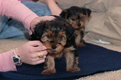 Yorkshire Terrier Puppies FOR New Home in San Angelo, Texas