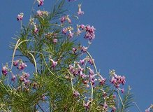 Desert willow tree seeds in Yucca Valley, California
