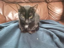 found black tuxedo cat in Bolingbrook, Illinois