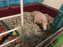 Skinny guinea (hairless) pig in Fort Carson, Colorado