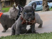 well trained Blue french bulldog puppies ready now in Anchorage, Alaska
