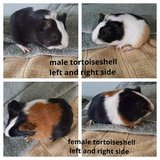 Baby guinea pigs born August 29th in Sandwich, Illinois